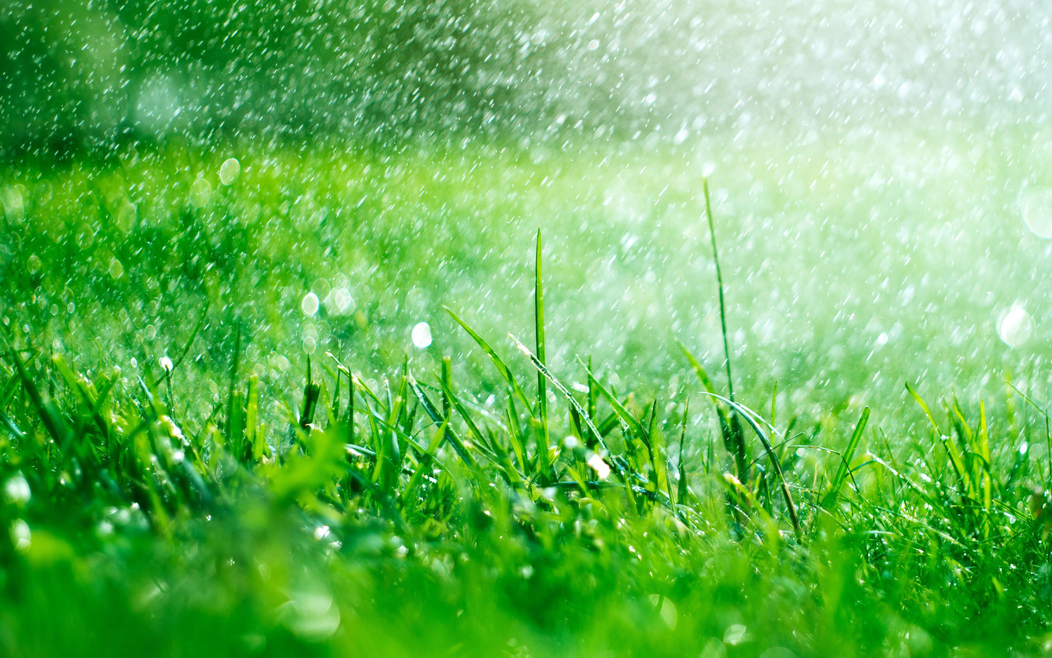 florida lawn rain grass sod